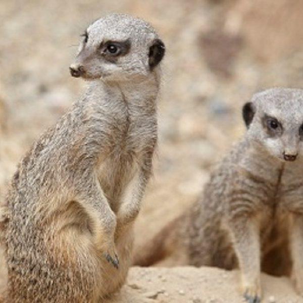 Meerkats at Tropical World - Credit A J Paraskjos