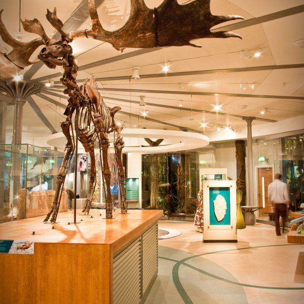 Moose Skeleton Leeds City Museum