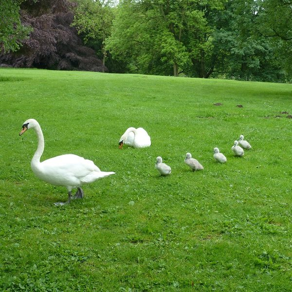 Swans at Roundhay Park - credit Shaun Gregory - Leeds City Council